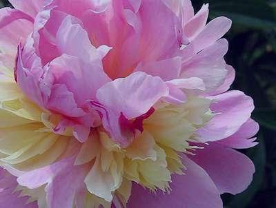 دمنوش گل صدتومانی برای بیماران قلبی
