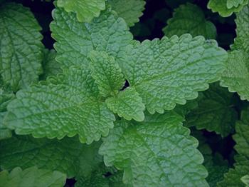 درمان تبخال با گیاه بادرنجبویه