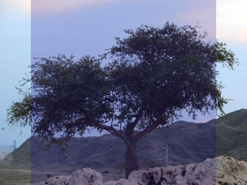 همه چیز درباره درخت سدر