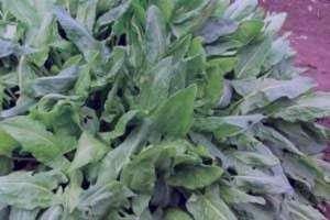 آشنایی با گیاه ترشک