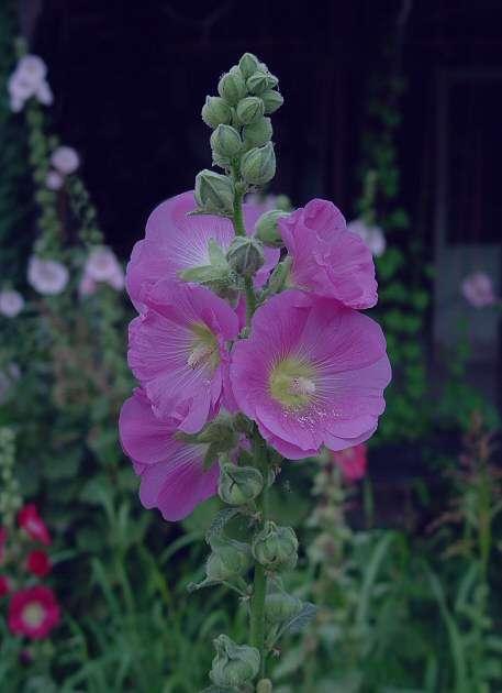 آشنایی با خواص گل ختمی
