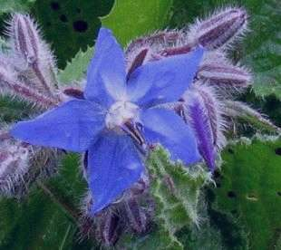 نکاتی درباره گیاه گل گاوزبان