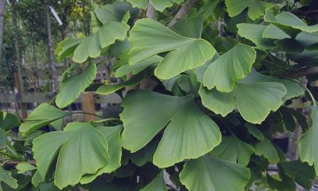جینکوبیلوبا گیاهی کهنسال از سرزمین چین