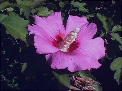 درمان سرفه و گل ختمی