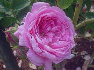 گل محمدی ، برای درمان دردهای روماتیسمی