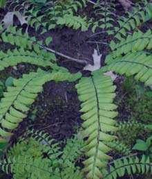 پرسیاوشان ؛ گیاهی برای درمان سرفه