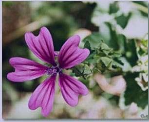 گل ختمی , مسکن طبیعی