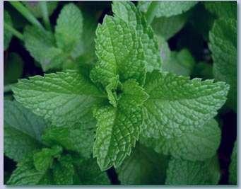 نعناع ، گیاهی با خواص فراوان