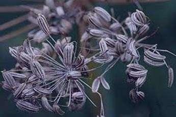رازیانه گیاهی برای حفاظت از چشم