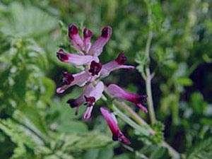 گیاهی با خاصیت آنتی هیستامین
