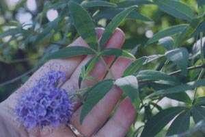 گیاه جادویی زنان