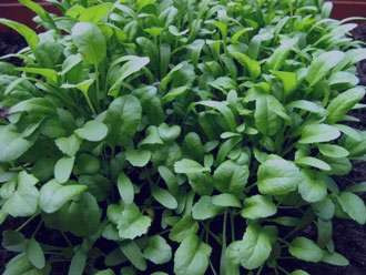 نکاتی مهم درباره گیاه تره تیزک