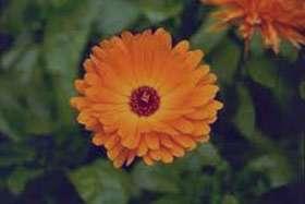 گل همیشه بهار مرهم گوش درد