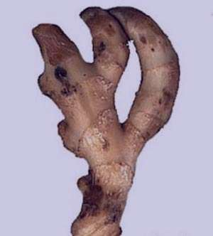 گیاهی مفید جهت دردهای ماهیچه ای