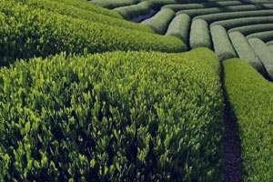 آشنایی با خواص و عوارض چای سبز