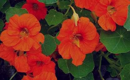 آشنایی با خواص و فواید گل لادن