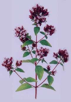 گیاهان دارویی با خاصیت آنتی بیوتیک