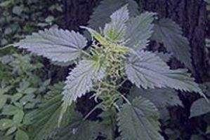 گیاه گزنه و درمان کم خونی