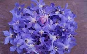 از خواص گل گاوزبان چه می دانید