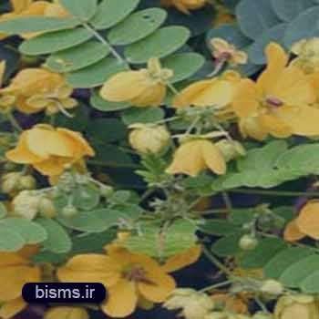 تخلیه روده ها با استفاده از برگ سنا