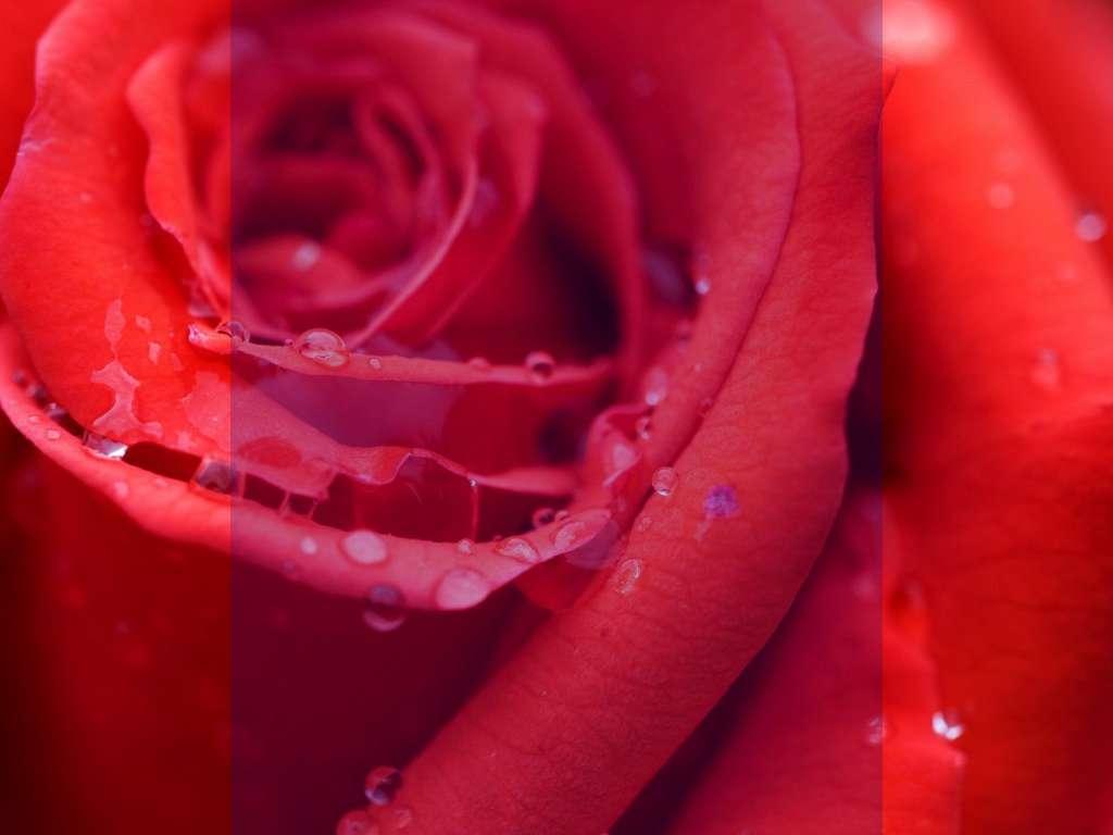 گلچین زیباترین و جدید ترین عکس گل رز رنگارنگ