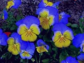 عکس های بسیار زیبا و دیدنی از گل بنفشه