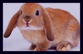 تعبیر خواب خرگوش