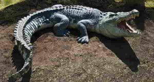 تعبیر خواب تمساح | 31 تعبیر دیدن تمساح در خواب