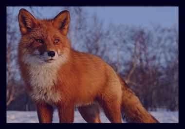 تعبیر خواب روباه