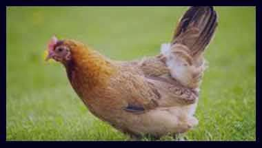 تعبیر خواب مرغ