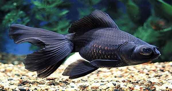 تعبیر خواب ماهی سیاه کوچولو و بچه ماهی سیاه و قرمز در خشکی
