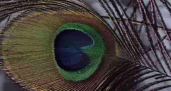 تعبیر خواب دیدن پر طاووس , تعبیر خواب ریختن پر طاووس , jufdv o,hf \ xh,,s
