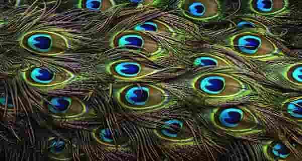 تعبیر پر طاووس در خواب , تعبیر دیدن خواب طاووس , تعبیر دیدن خواب طاووس سیاه , تعبیر خواب گرفتن پر طاووس