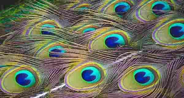 تعبیر خواب پر طاووس , تعبیر خواب پر طاووس سبز , تعبیر خواب پر طاووس سفید , تعبیر خواب کندن پر طاووس
