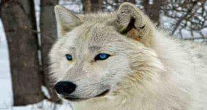 شعر در مورد گرگ ؛ 77 شعر در مورد گرگ درون