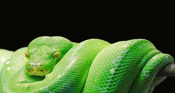 تعبیر خواب مار بزرگ , تعبیر خواب مار بزرگ زرد , تعبیر خواب مار بزرگ سبز , تعبیر خواب مار بزرگ سفید