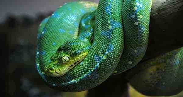 تعبیر خواب مار سبز بزرگ , تعبیر خواب مار سبز کوچک , تعبیر خواب مار سبز در خانه , تعبیر خواب مار سبز بزرگ