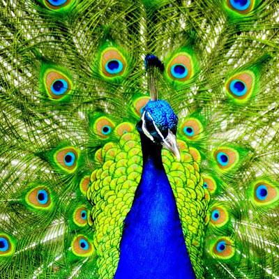 شعر در مورد طاووس