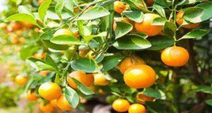 خواص و طبع بهار نارنج و به لیمو و طرز تهیه دمنوش آن