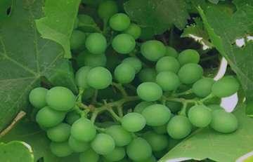 خواص پودر غوره , پودر غوره , پودر غوره انگور , طرز تهیه پودر غوره