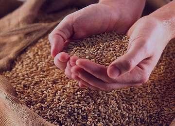 خواص گندم پخته , خواص گندم پخته شده , خواص خوردن گندم پخته , خواص جوانه گندم پخته