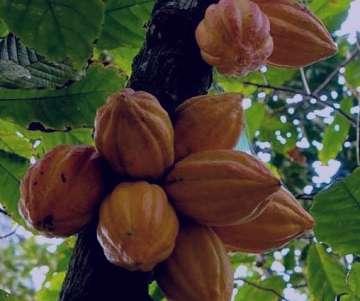 کاکائو چیست , کاکائو چیست و کاربرد آن , كاكائو چيست , کره کاکائو چیست