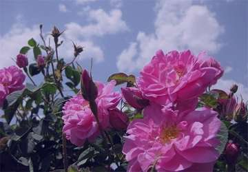 گل محمدی خواص , دمنوش گل محمدی خواص , خواص گل محمدی برای پوست , خواص گل محمدی برای یبوست