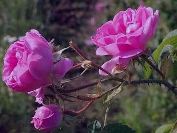گل محمدی در بارداری , گل محمدي در بارداري , مصرف گل محمدی در بارداری , خوردن گل محمدی در بارداری