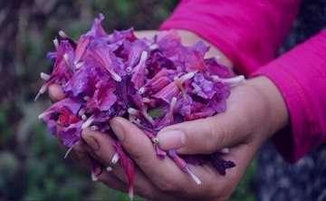 گل گاوزبان ایرانی