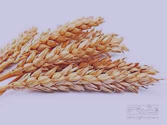 فوايد گندم ، فواید گندم برشته ، فواید گندم پخته ، فواید گندم بوداده