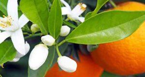 خواص بهار نارنج چیست برای پوست و فشار خون و طب سنتی