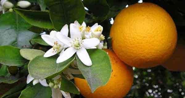 بهار نارنج برای بارداری , عرق بهار نارنج در دوران بارداری , عرق بهار نارنج قبل از بارداری , دمنوش بهار نارنج بارداری