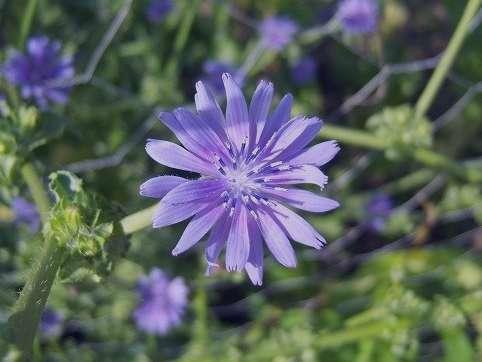 معرفی و مشخصات گیاه کاسنی به همراه خواص درمانی این گیاه