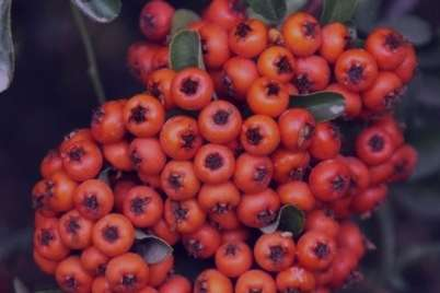آشنایی با خواص زالزالک و یبوست و همه چیز در مورد این میوه